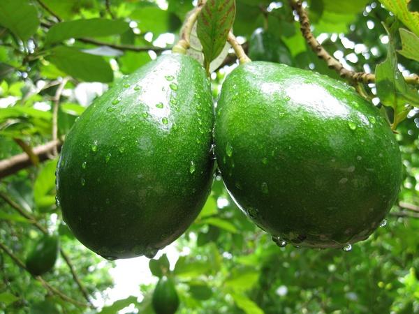 Авокадо: очевидная польза заморского гостя!
