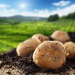 Гастрономическая история картофеля
