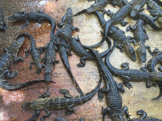 ферма по разведению крокодилов и аллигаторов