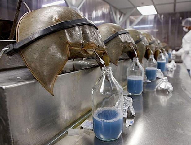 сбор голубой крови мечехвоста для медицинских препаратов