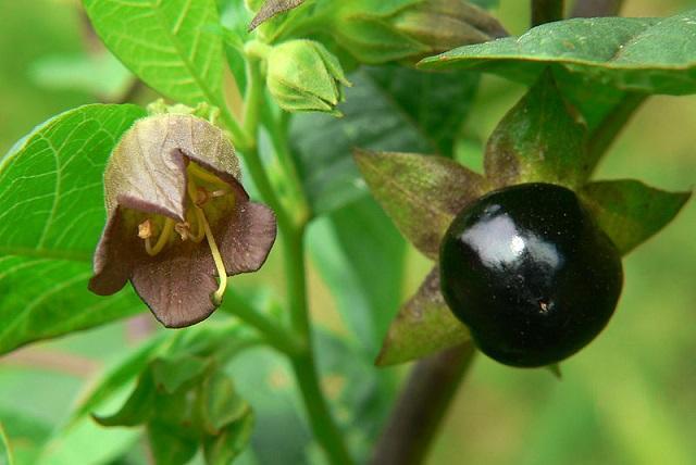 На фото - Ягоды и цветы белладонны или красавки обыкновенной